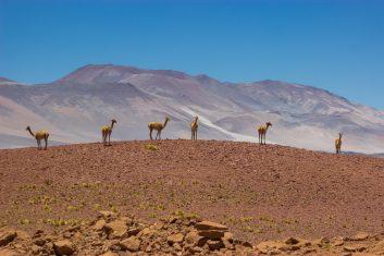 Chile San Pedro Atacama - Alpacas