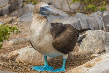 Ecuador Galapagos_Blue footed booby