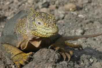 Ecuador Galapagos_Land iguana