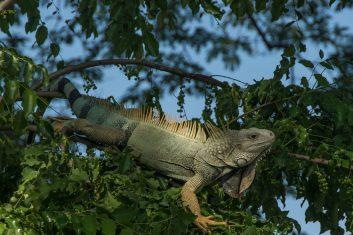 Colombia_Iguana