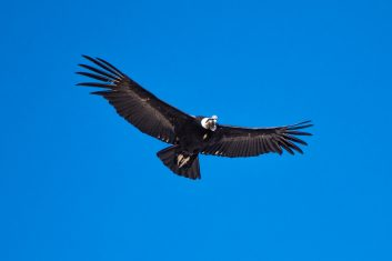 Peru_Colca Valley - Condor