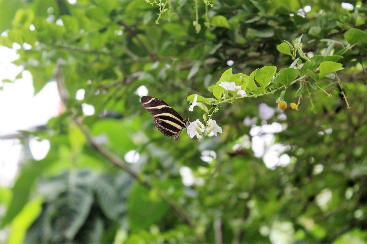 Nicaragua - Isla Ometepe - Charco Verde - Vlindertuin/Mariposa