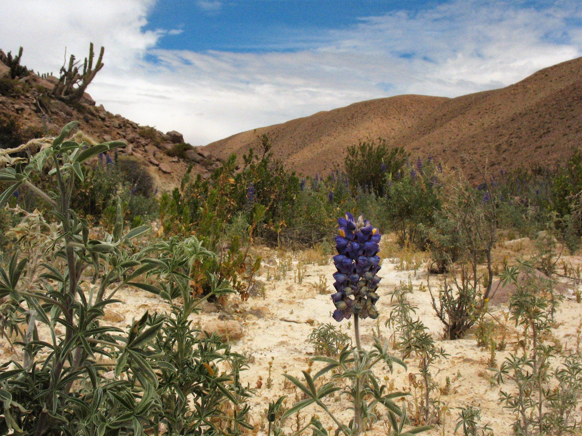 Chile - Noord flor-flower-bloem