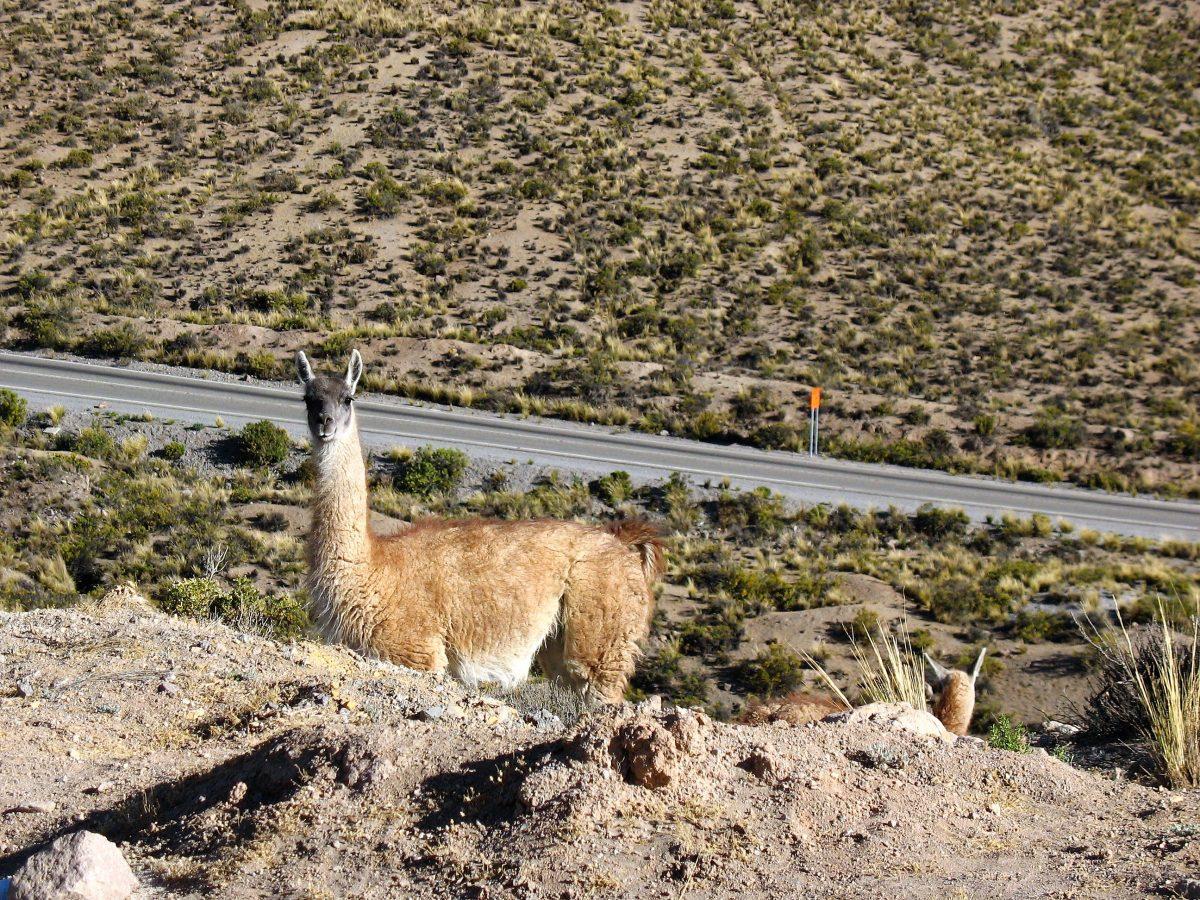 Chile - Noord - vicuña
