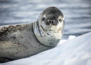 Antarctica - Weddell seal