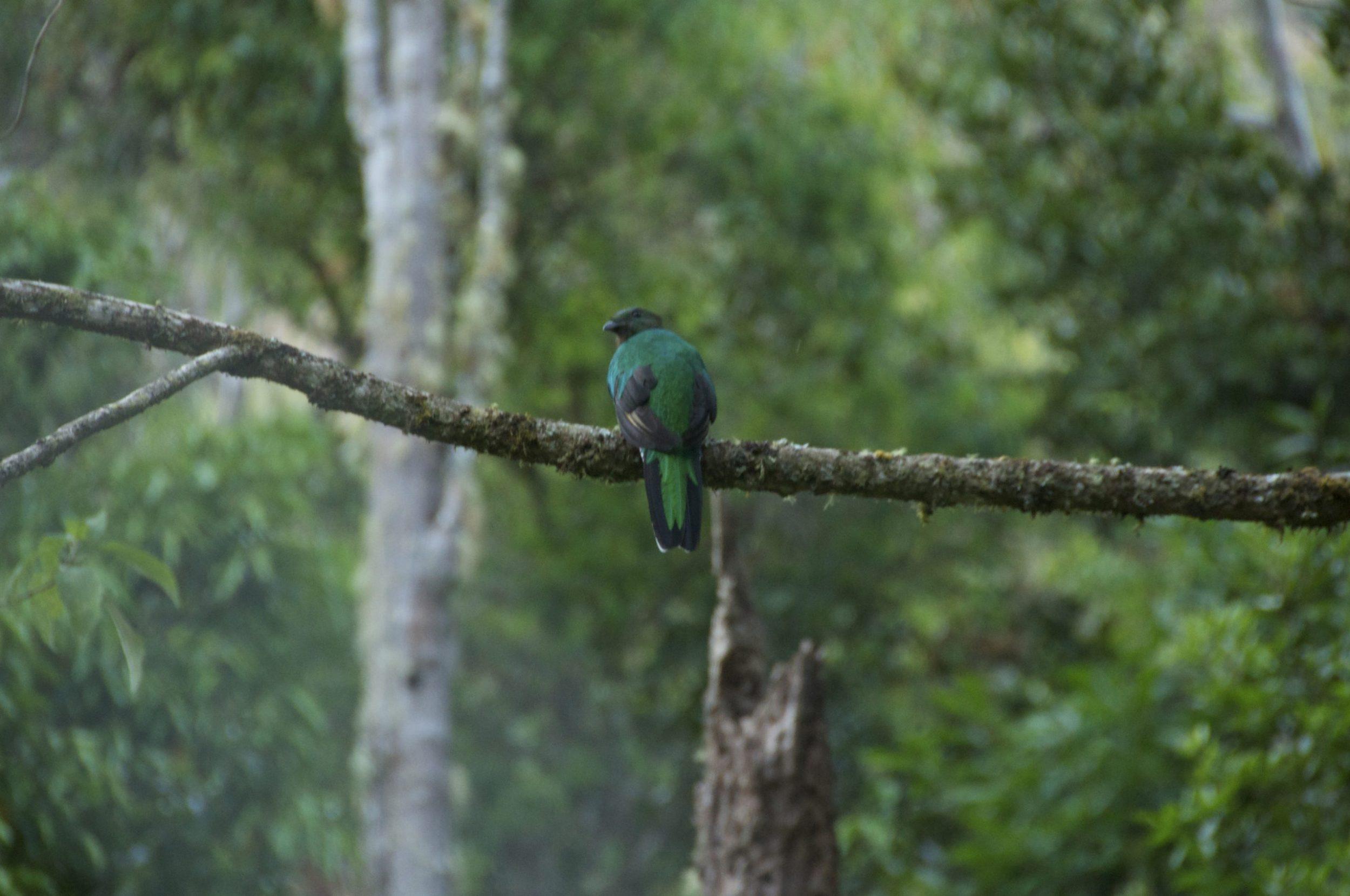 Costa Rica_quetzal